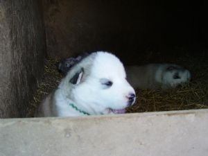 Pictures of Order  your siberian huskies now!! 4