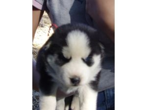 Pictures of Order  your siberian huskies now!! 1