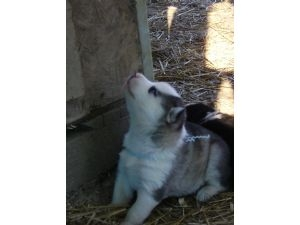 Pictures of Order  your siberian huskies now!! 2