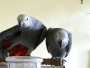 Home raised african grey parrots available for good home