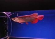 Buy Top Quality Arowana Fishes Now