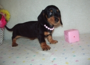Miniature dachshunds puppies for sale