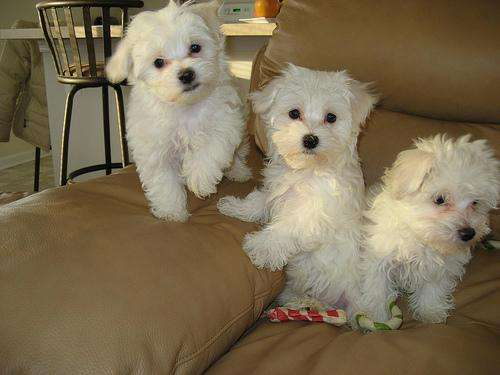 Male and female maltese puppies for your homes