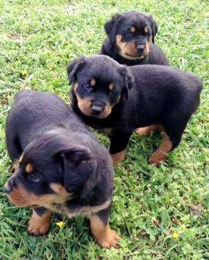 Family raise rotti pups available for new homes.