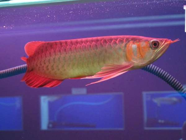 Super quality asian arowana fishes available for sale