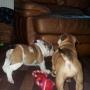 Charming English Bulldog Puppies For Christams