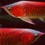 Super Red arowana, Chili Red arowana,24k golden arowana,Platinum Arowana fishes.