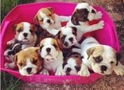 British and French Bulldog Puppies available $2000