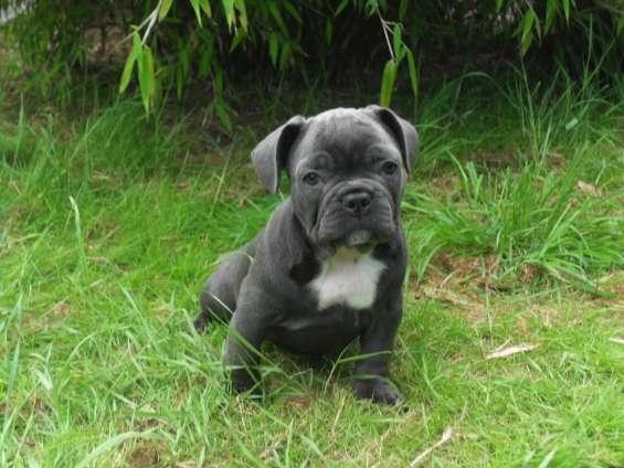3 blue french bulldogs kc