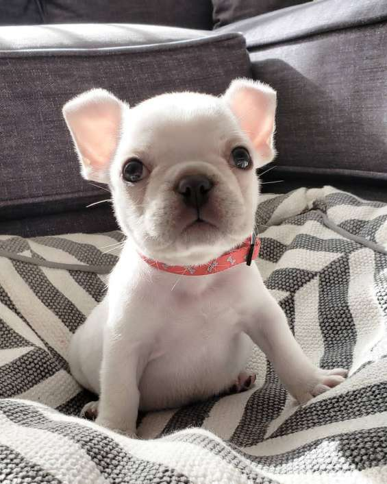 French bulldog for rehome